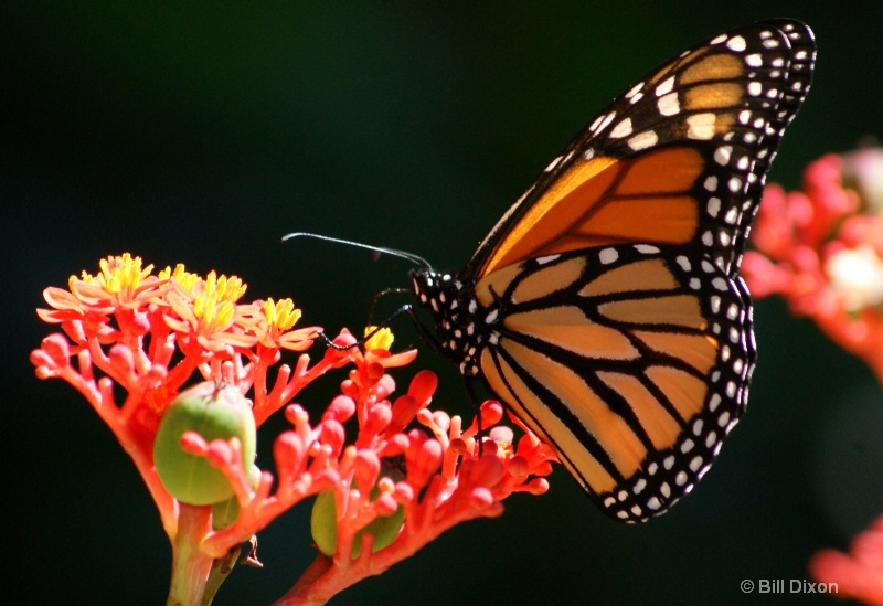 Spotting a Spotted Monarch - ID: 11592968 © William E. Dixon
