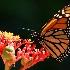 © William E. Dixon PhotoID# 11592968: Spotting a Spotted Monarch