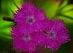 Three Dianthus