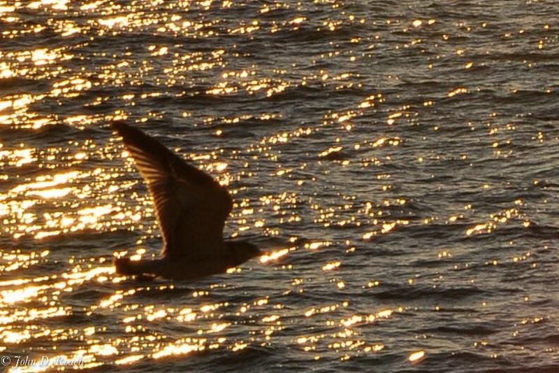Autumn Gull at Warren Dunes - ID: 11634124 © John D. Roach