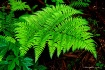 A Fern in the For...