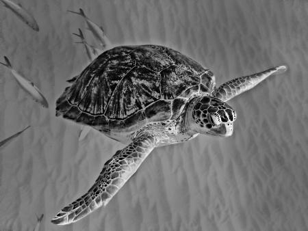 Photography Contest Grand Prize Winner - April 2011: Wild Sea Turtle