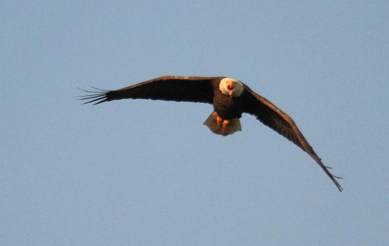 Bald Eagle,    Auburn, Alabama   2.20.11 - ID: 11668967 © Michael S. Couch