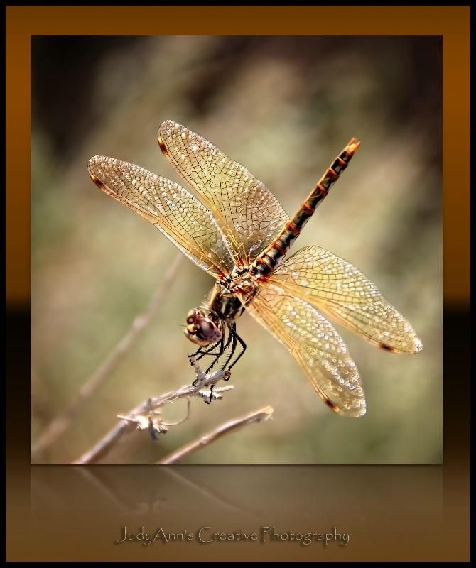 Delicate Dragon - ID: 11672562 © JudyAnn Rector