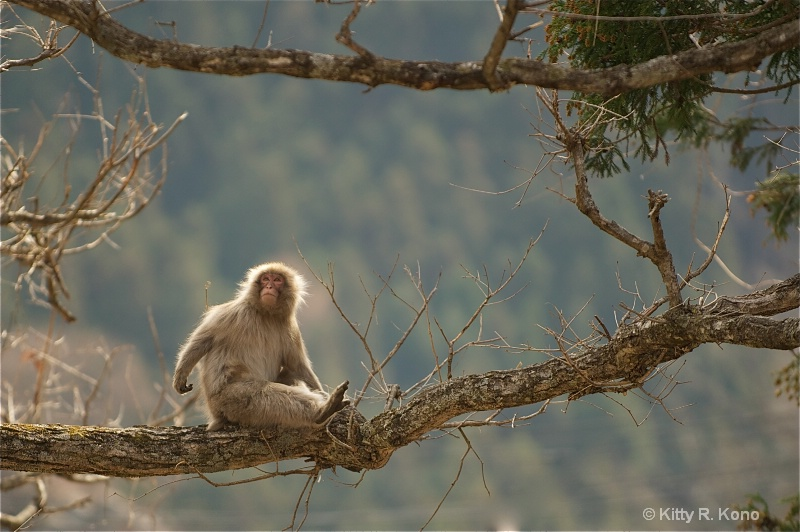 Japanese Macaque High in the Tree - ID: 11682092 © Kitty R. Kono