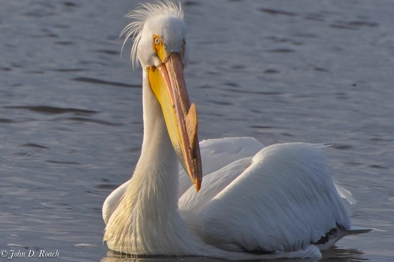 Pelican looking sharp - ID: 11690406 © John D. Roach