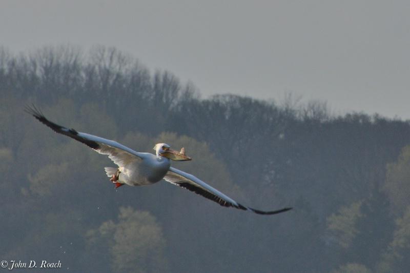 Pelican Circling - ID: 11690407 © John D. Roach