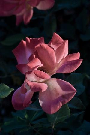 Old Park Rose