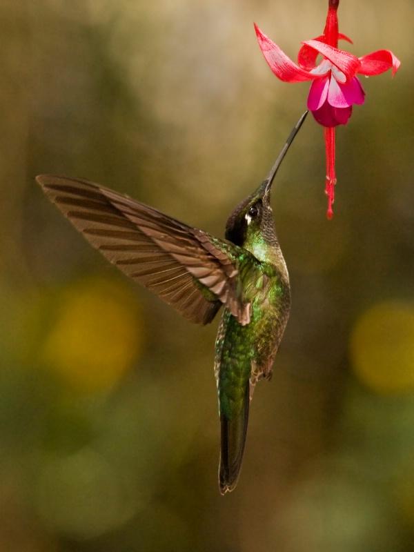 Feeding Hummingbird - ID: 11701532 © Joseph T. Pilonero