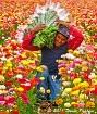 Harvesting Ranunu...