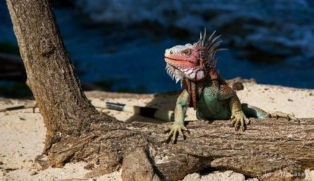 Iguana@St.Thomas