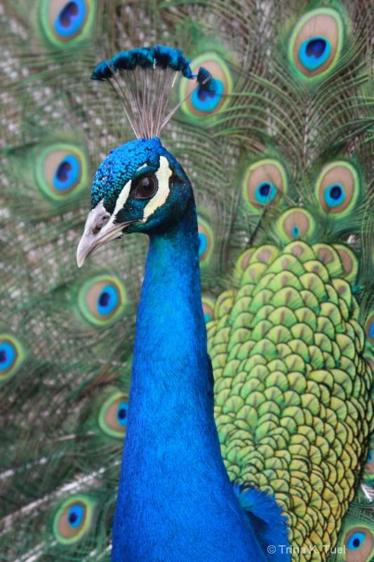 Peacock - ID: 11716078 © Trina K. Tuel