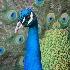 © Trina K. Tuel PhotoID # 11716078: Peacock