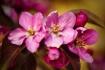 Pink Crabapple bl...