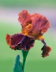 Rust Colored Iris