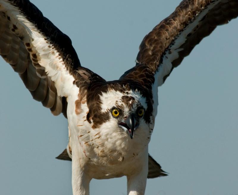 Osprey 4 - ID: 11729822 © Michael Cenci
