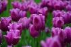 Tulips........