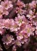 Flowering Almond ...