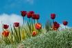 Sunshine & Tulips...
