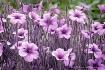 Purple Pleasers