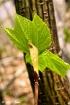 Striped Maple Lea...