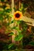 Sunflower Abstrac...