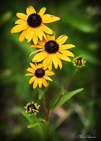 ~ Mountain Sunflower ~
