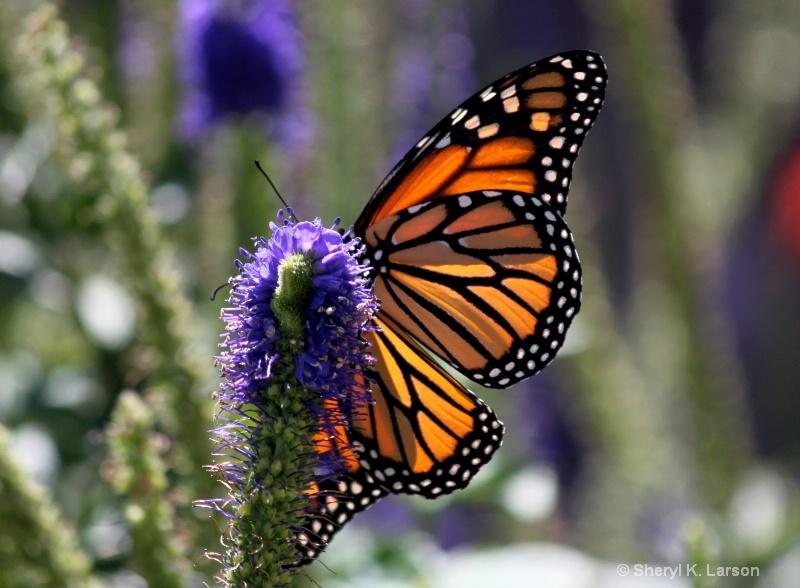 Monarch_Salvia - ID: 11803221 © Sheryl K. Larson