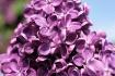 Lilac 2011 2