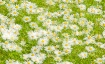 Daisies in the Gr...