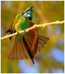 Bee Eater Acting!