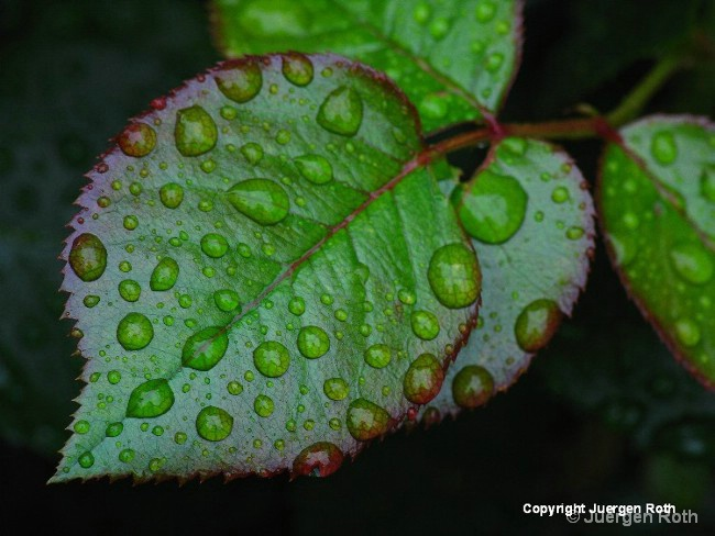 Teary Rose Leaf - ID: 11851408 © Juergen Roth