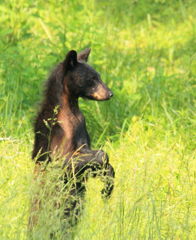 Black Bear, Great Smoky Mountains N.P., 5.30.11 - ID: 11876742 © Michael S. Couch