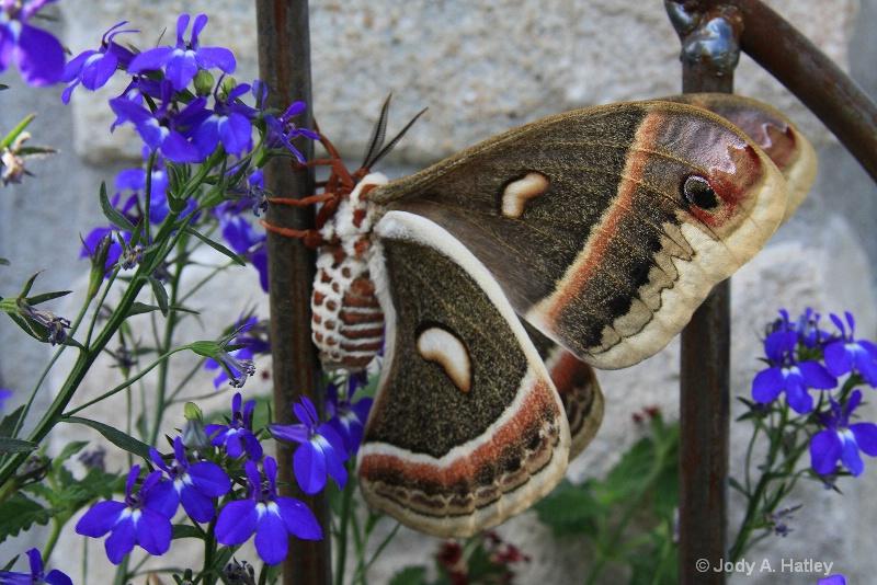Cecropia Moth, female - ID: 11878815 © Jody A. Hatley