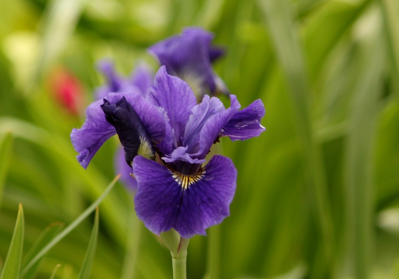 Dark Purple Iris - ID: 11879109 © Sheryl K. Larson