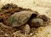 Turtle Laying Egg...