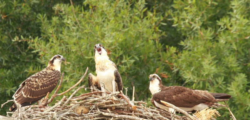 Osprey Nest, Lake Eufaula, AL  6.12.11 - ID: 11901383 © Michael S. Couch