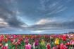 Tulip Festival Wo...