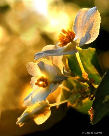 white begonia early morning