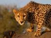 Cheetah Kruger Af...