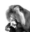 Macaque Having a ...