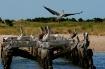 Incoming Pelican ...