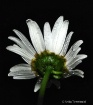 Rainy daisy