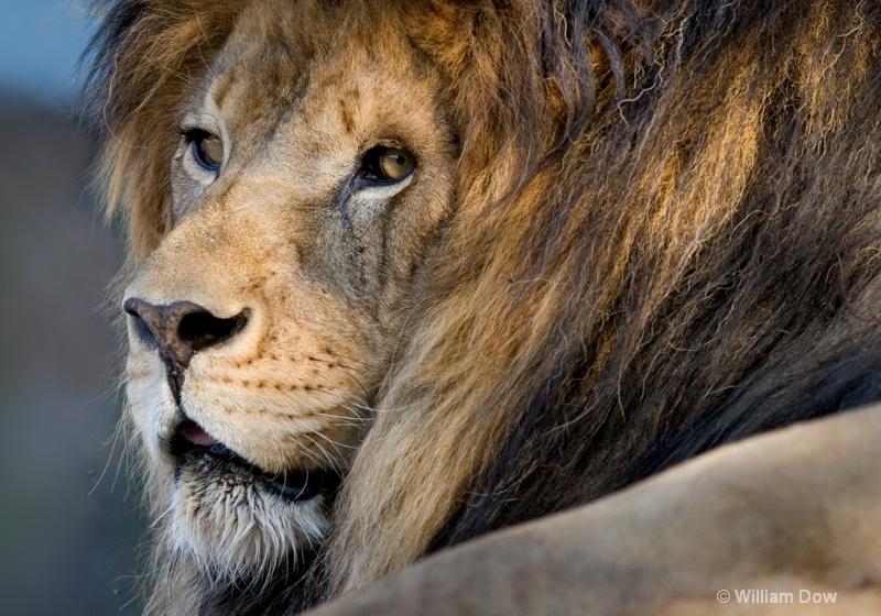 Henson Lion -African lion-Panthera leo - ID: 11972901 © William Dow