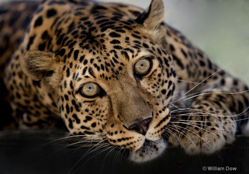 Savannah 04-Leopard-panthera pardus - ID: 11972918 © William Dow