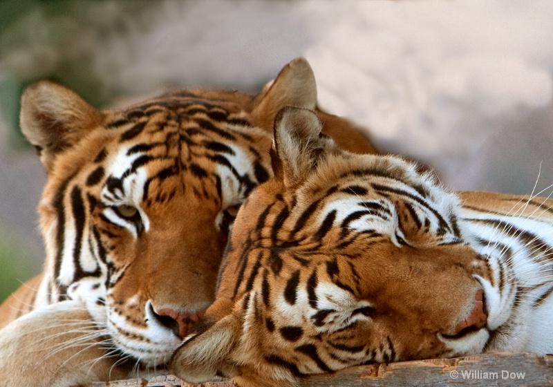 Sabu & Thriller-Tigers-Panthera Tigris - ID: 11972920 © William Dow