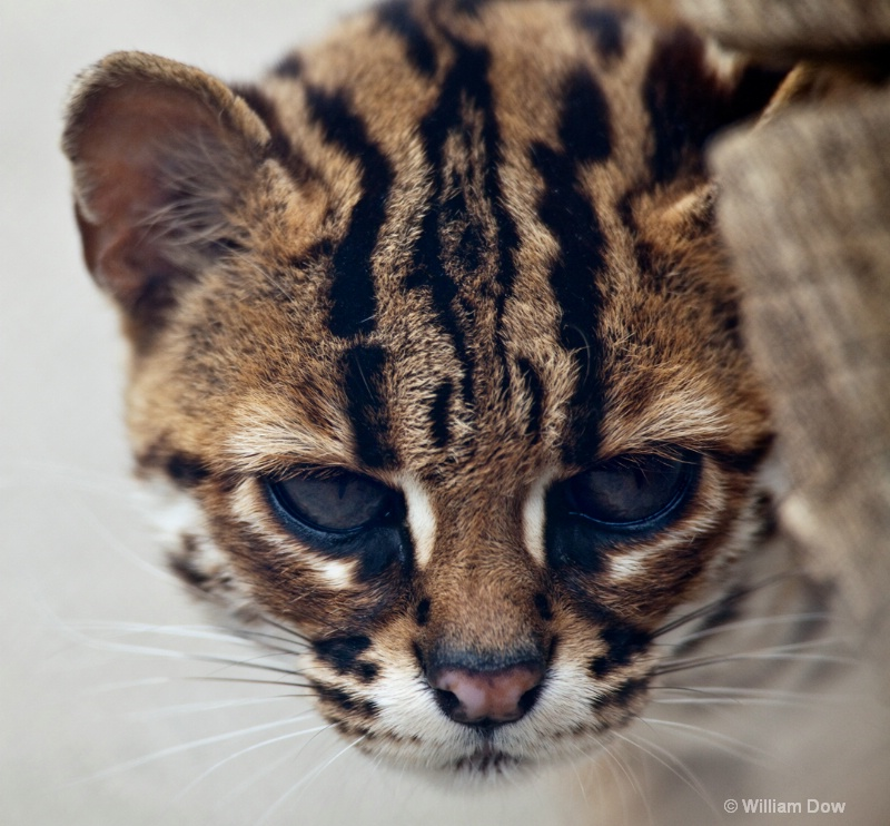 Asian Leopard Cat-Felis bengalensis-To Be 1 - ID: 11972922 © William Dow