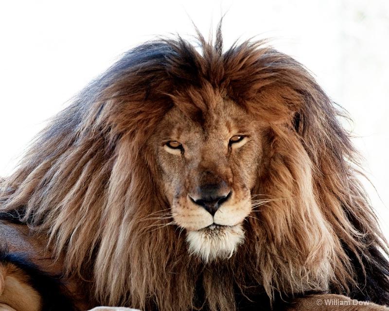 African lion-Panthera leo-Zeus - ID: 11972929 © William Dow