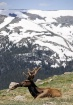 Elk on the Tundra