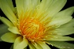 Water Lily 11-2
